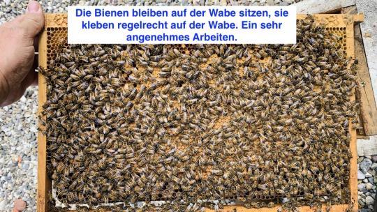 Belegstelle Hausberg- Elgon/Buckfast x Buckfast