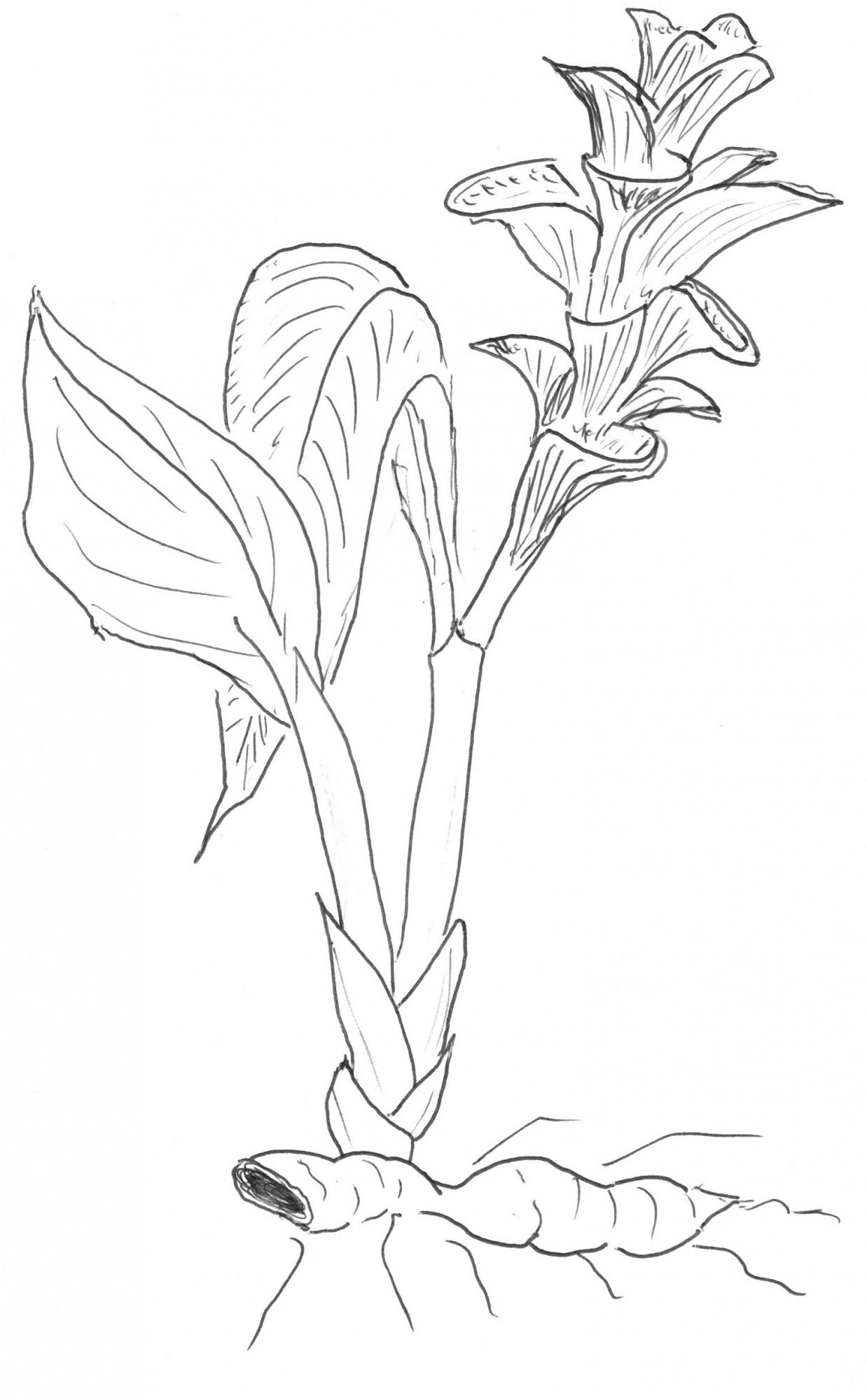 Kurkuma-Pflanze als Zeichnung